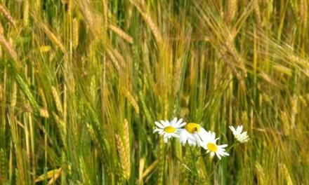 Los cereales crecen