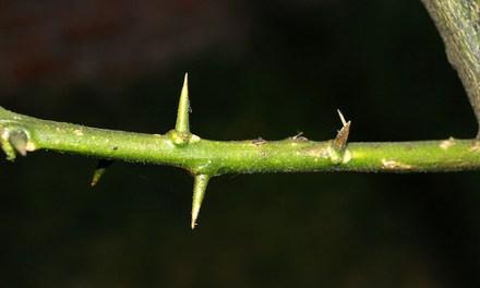 La espina