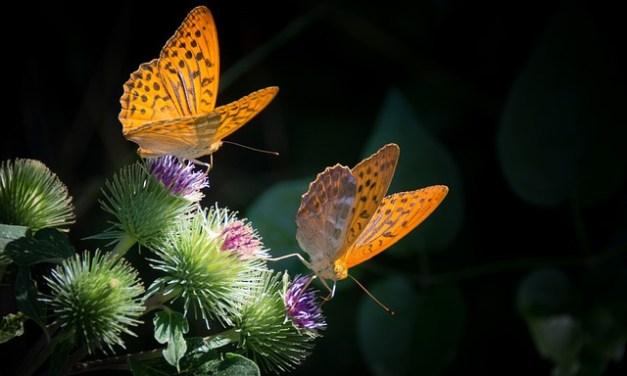 Mariposas al Vuelo