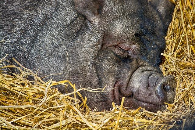 La soledad del cerdo