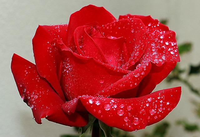 la rosa Evelyne