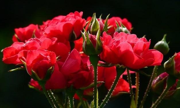 la Rosa y el Sapo