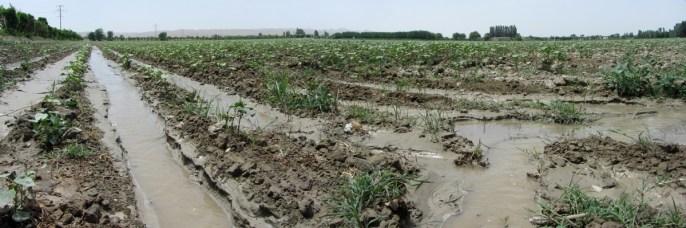 Irrigation a grande eau des champs de coton