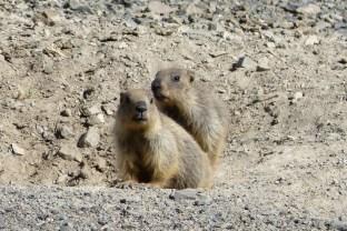 Les jeunes marmottes nous ont repérés.