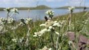 Un champ d'edelweiss.