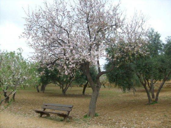 Uma amendoeira florida no Vale dos Templos de Agrigento... e em pleno inverno!