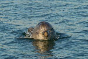 Golfinho-roaz