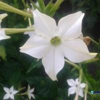 Regina noptii (Nicotiana) sau parfumul noptilor de vara