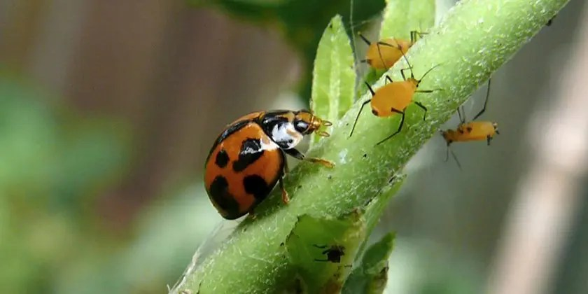Biological control agents : an environmentally-friendly way of controlling pests and diseases on crops