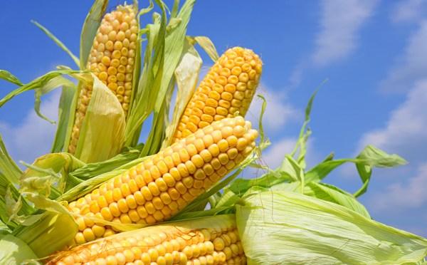 Culturas geneticamente modificadas podem coexistir com orgânicas?