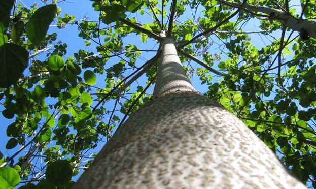Árvore kiri japonês, a árvore do futuro
