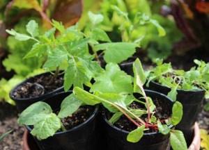 sementes-de-hortalicas-4