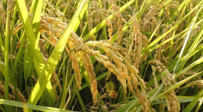Arroz integral e suas principais propriedades nutricionais