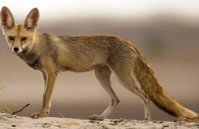 White Desert fox