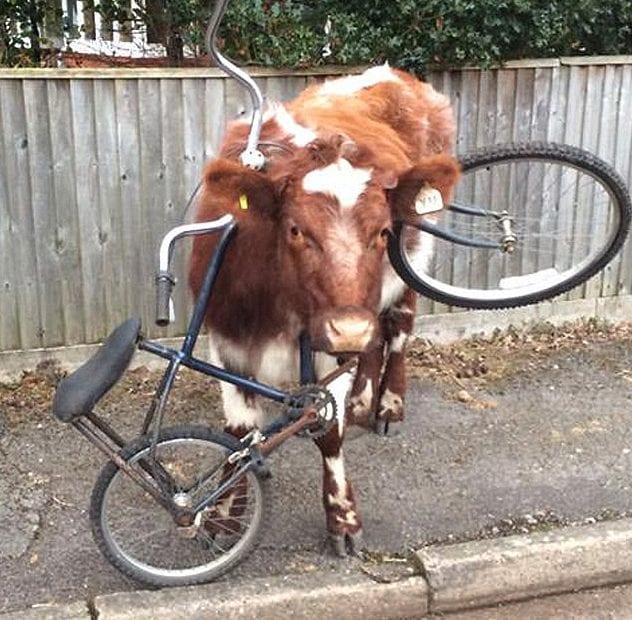 cowbike