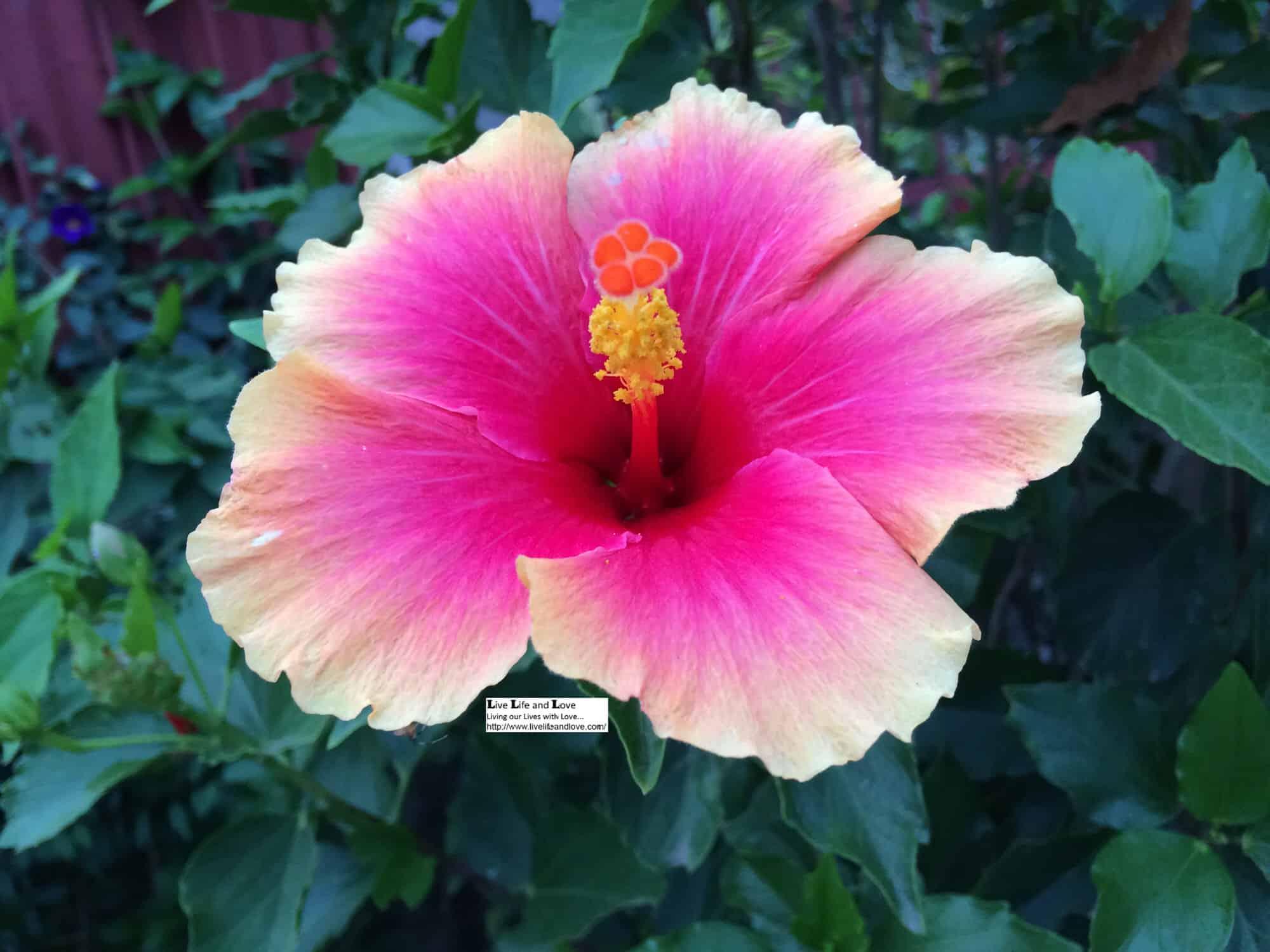 Hibiscus Multi Colored