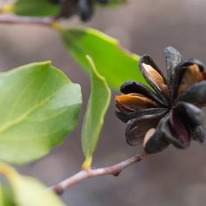 seed Quillaja saponaria Molina