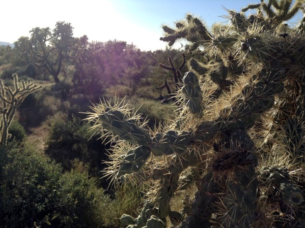 Through the cholla forest in the late afternoon.