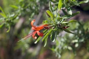 Vivid desert honeysuckle (Anisacanthus).
