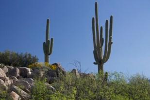 Brittlebush (Encelia farinosa) and saguaros on the skyline.