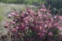The fairy duster (Calliandra eriophylla) catches the light.