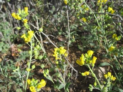 http://www.fireflyforest.com/flowers/1396/lesquerella-gordonii-gordons-bladderpod/