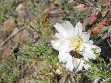 http://www.arizonensis.org/sonoran/fieldguide/plantae/calycoseris_wrightii.html