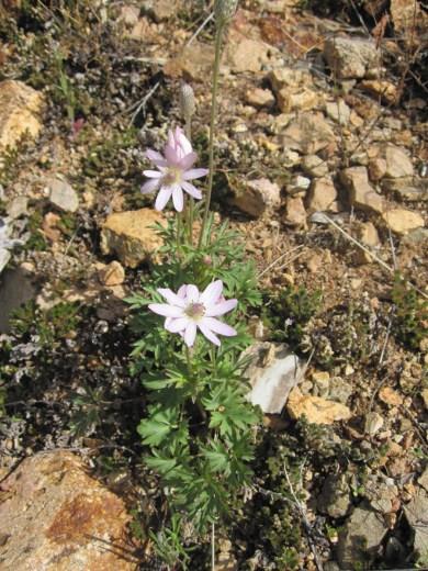 http://www.arizonensis.org/sonoran/fieldguide/plantae/anemone.html http://medivetus.com/botanic/anemone-tuberosa-desert-anemone-medicinal-uses/anemone-tuberosa-1/