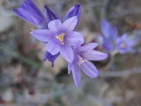Close up of brodiaea.