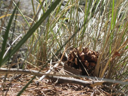Pinecone in the grass.