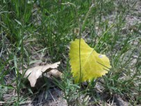 Fallen leaves.