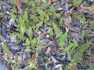 Ferns on the forest floor.