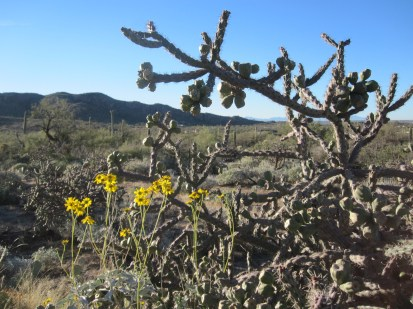 Brittlebush and cholla.