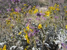 Dalea and brittlebush.