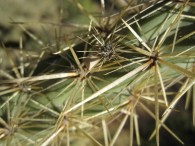 Straw-colored needles on green cholla.
