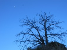 Half moon above the bare tree.