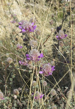 Close up of dalea flower-heads.