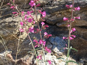 Eight species of penstemon on Mt Lemmon.
