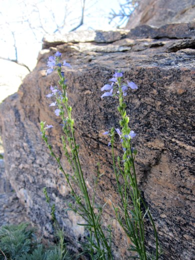 Slender stems with blue flowers against the rocks.