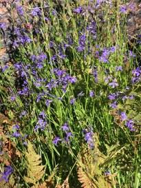 A swath of blue flowers.