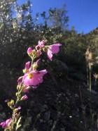Sphaeralcea ambigua var. rosacea