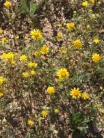 In the genus Pectis.