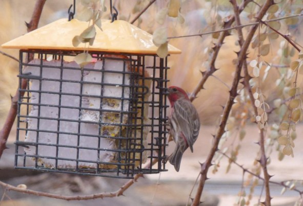 Male House Finch – Carpodacus mexicanus