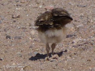 Burrowing Owl Baby - what dance is this?