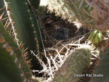 Baby Roadrunners in Nest