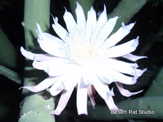Queen of the Night Cactus