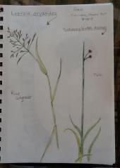 grasses-sketch