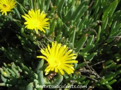 Red  Yellow  and Pink Succulent Flowers   Desert Succulents The Rocky Point Ice Plant Maleflora Luteal has dainty yellow succulent  flowers