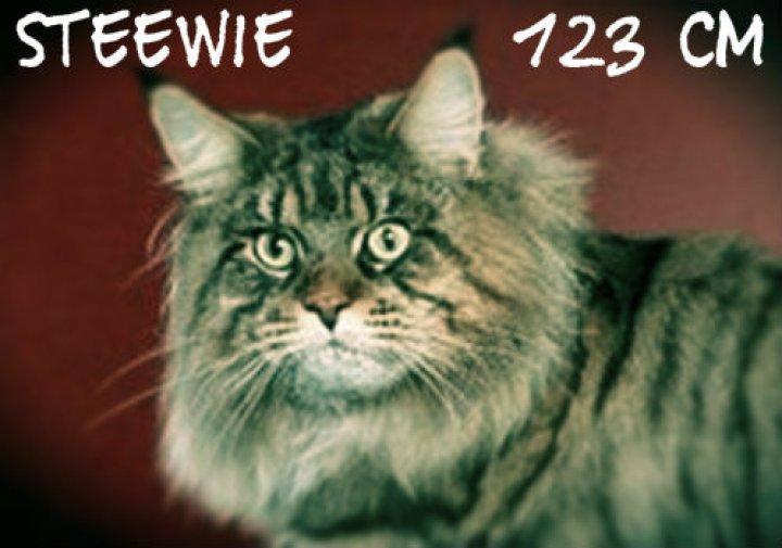 Steewy le plus grand chat du monde chat le plus grand du monde chat drôle chat marrant chat rigolo chaton