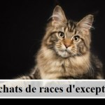 10 chats de races d'exception
